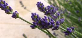 lavender-port